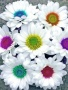 Daisies wallpapers