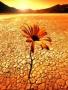 Desert Flower wallpapers