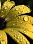 Sunflower Drops wallpapers